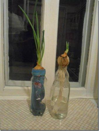Выращивание зеленого лука в зимнее время
